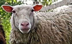 Dolly the Cloned Sheep and the Cell Reprogramming Technique that Created Her 20 Years Ago!