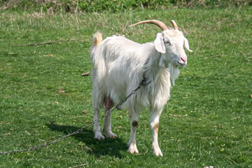 University of Wyoming Molecular Biologists Breed Spider Silk-Producing Goats